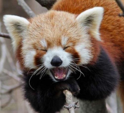 大家看到萌萌的小熊猫的同时,也要提倡保护这些小动物,不要让这可爱